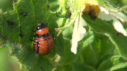 colorado potato beetle larva on  leaf  in farm