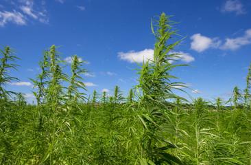 technical cannabis