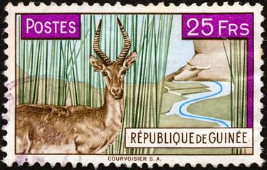 Bohor Reedbuck (Redunca redunca) (Guinea 1961)