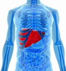 anatomy of human liver in x-ray view