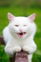 White cat grimace