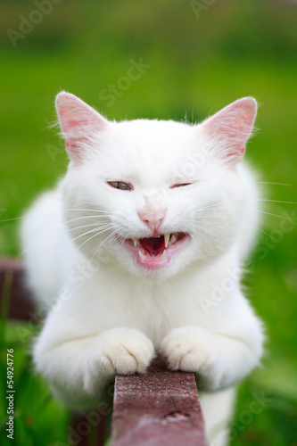White cat grimace