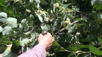 picking linden medical blossom from tree branch