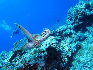 沖縄の海亀
