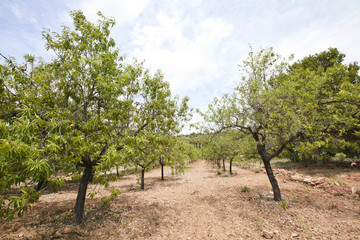 Rows of almond trees in almond grove, Valencia Region, Spain