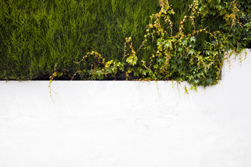 white wall with ivy flowing over the edges