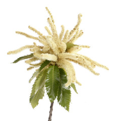 Sweet chestnut blossoming branch