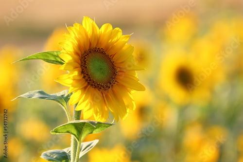 Fotobehang Zonnebloemen Sonnenblume / Helianthus annuus / sunflower