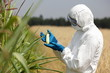 biotechnology engineer  examining immature corn cob on field