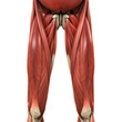 ������, ������: Upper Legs Muscles Anatomy