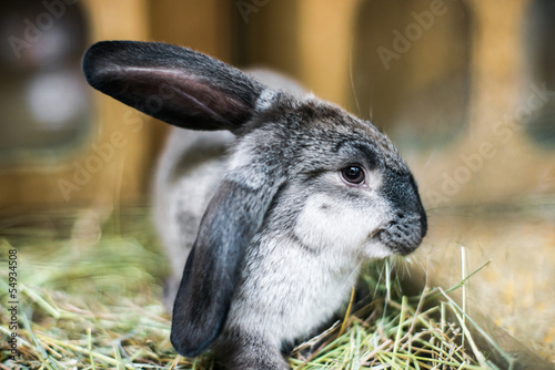 beautiful black-and-white rabbit in the hay