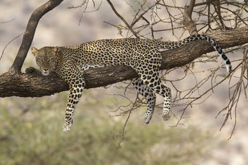 Wild leopard resting on a tree branch
