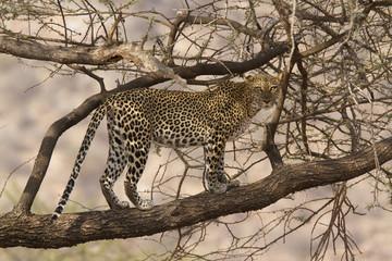 Wild leopard walking on a tree branch