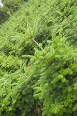 Tannenbaumplantage @ miket