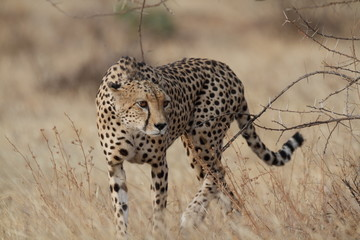 Wild cheetah walking