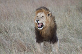 Male lion showing Flehmen response