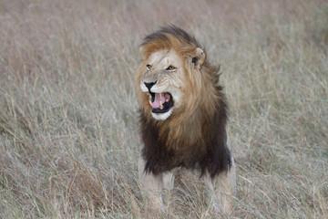 Male lion showing Flehmen response