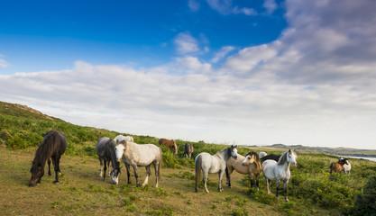 wild horses in England