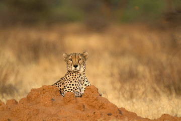 Portrait of wild cheetah lying on a termite mount