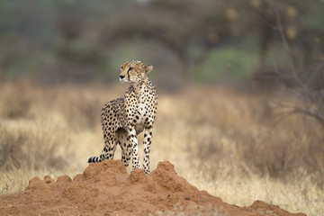 Portrait of wild cheetah standing on a termite mount