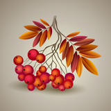 Autumnal colorful red rowan branch. Vector illustration