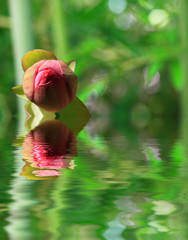 le lotus....