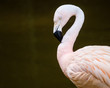 Portrait of greater flamingo (Phoenicopterus roseus)