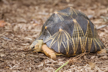Portrait of radiated tortoise (Astrochelys radiata)