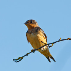 Swallow on a branch