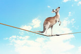 Kangaroo walking on rope