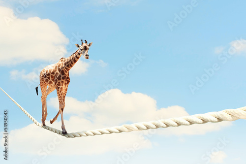 Keuken foto achterwand Giraffe Giraffe walking on rope