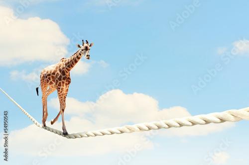Tuinposter Giraffe Giraffe walking on rope