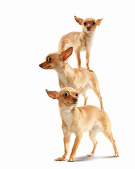 Pyramid of three funny dogs