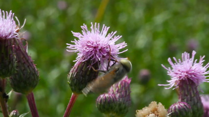 Bee on the thistle flower.