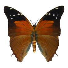 Russet Flipper Butterfly