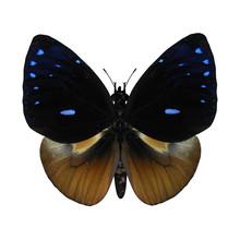 Queen Cracker Butterfly