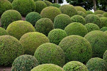 Boxwood  - Green garden balls in France,