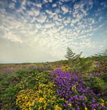 flowering heath and beautiful sunset