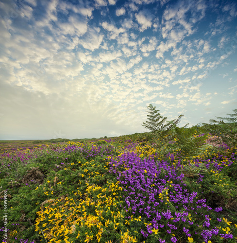 flowering heath and beautiful sunset