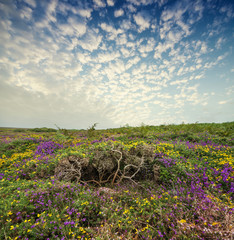 flowering heath and sunset