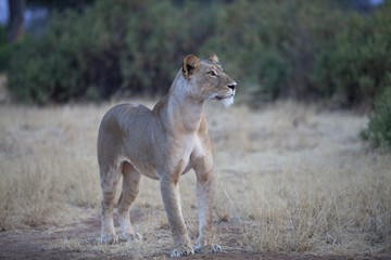 Lioness looking in the distance
