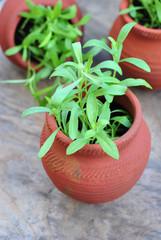 Tarragon in Terracotta Pots