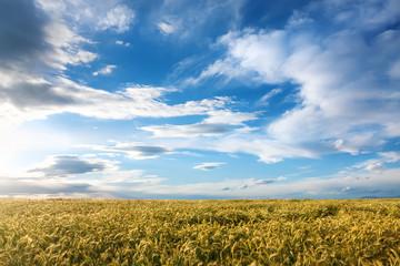 Barley field on a sunny day