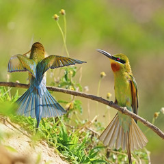 Green-tailed Bee-eater