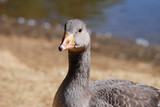 Juvenile greylag goose by the water