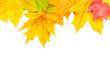 Ahornblätter als Hintergrund