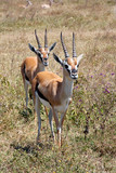 Couple of Thomson's gazelle