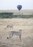 Cheetahs in Serengeti Mara ecosystem with hot air balloon behind poster