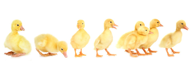 Ducklings isolated on white