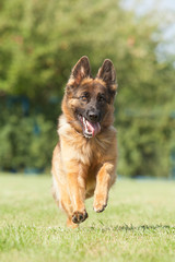 Portrait of a purebred  German Shepherd Dog on a green backgroun
